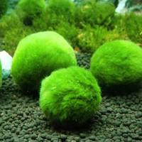 Marimo Moss Ball Bola Algae (3 cm)