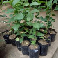 Jual Bibit Tanaman Bidara Arab Herbal/ Bibit /Biji / Benih