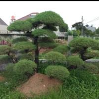 Jual Bibit Pohon Cemara Udang Bahan Bonsai/ Bibit /Biji / Benih