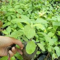 Jual 5 Bibit Tanaman Obat Herbal Sambung Nyawa/ Bibit /Biji / Benih
