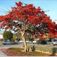 Jual 5 Ons Benih Biji Pohon Bunga Flamboyan Merah/ Bibit /Biji / Benih