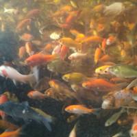 Bibit Ikan Mas Hidup Untuk Makanan Louhan Arwana Dll