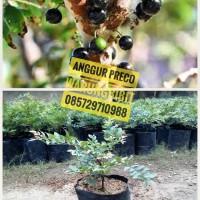 Bibit Anggur Preco Murah