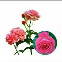 Bibit tanaman hias mawar jepang