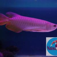 Ikan Arwana / Arowana Golden Red 25cm