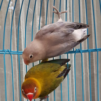 Lovebird Indukan Euwing Green/Blue x Euwing Blue pied