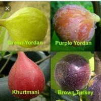 Bibit tanaman buah tin Paket 4pcs