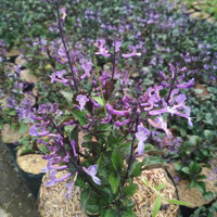 Tanaman hias bunga monika lavender