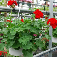 Tanaman hias geranium merah