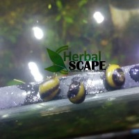 Aquascape keong tanduk