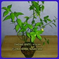 Harga tanaman daun dandang gendis | Hargalu.com