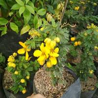 Tanaman hias akasia golden yellow