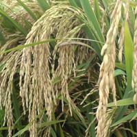 Biji benih padi ketan putih