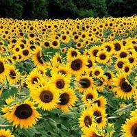 Biji benih bunga matahari biji hitam