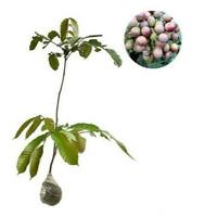 Bibit tanaman matoa murah