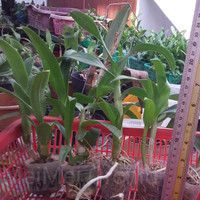 Anggrek Dendrobium Remaja Aneka Warna