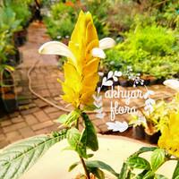 Tanaman Hias Bunga Lilin Lolipop Plant