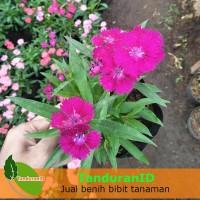 Tanaman Hias Dianthus Mini Ungu