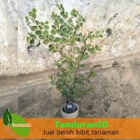 Tanaman Pohon Bidara Arab