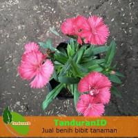 Tanaman Hias Dianthus Mini Orange