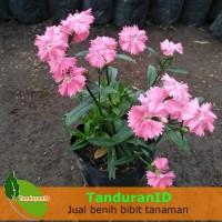 Tanaman Hias Dianthus Mini Pink