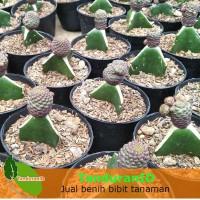 Tanaman Kaktus Brown Ball