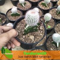 Tanaman Kaktus Noto Albino