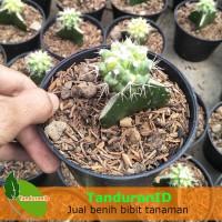 Tanaman Kaktus Grusonii