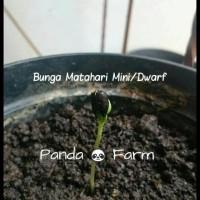 Isi 50 Biji Benih Bibit Bunga Matahari Bonsai Mini Sunflower Dwarf