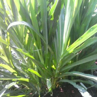 Sedia 20 Bibit Stek Rumput Odot Pakan Ternak - Benih / Biji / Bibit