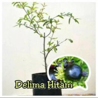 Jual Bibit Buah Delima Hitam Stek - Benih / Biji / Bibit / Binih