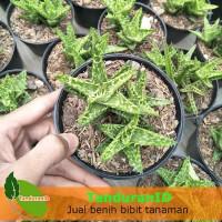Tanaman Aloe Juvenna