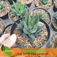 Tanaman Aloe Spiky