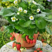 bibit buah strawberry earlybrite import