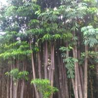 Pohon pule/pulai | pohon perindang
