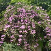 Tanaman rambat bunga stepanut ungu