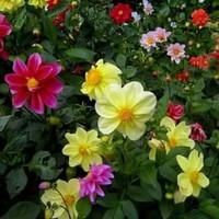 Tanaman hias bunga dahlia murah