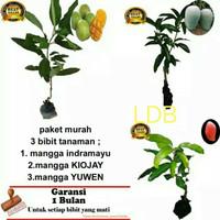 Tanaman bibit buah mangga paket 3 bergaransi 1 bulan
