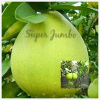 Biji benih buah jeruk super jumbo