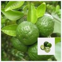 Biji benih buah jeruk limau