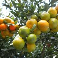 Biji benih buah jeruk siam madu