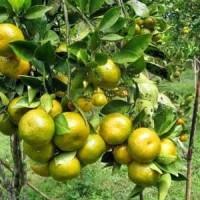 Biji benih buah jeruk manis