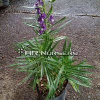 Tanaman hias bunga lavender - Bibit pohon bunga lavender - Angelonia