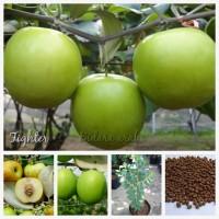 Biji benih buah bidara arab