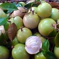 Biji benih buah sawo susu