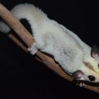 Harga sugar glider | Pembandingharga.com