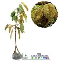 Bibit Durian Petruk Kaki3