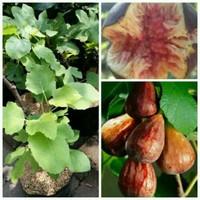 Bibit tanaman buah tin brown turkey