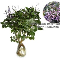 Bibit Tanaman Bunga Monic Lavender Ungu