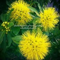 Jual Bibit Bunga Xanthostemon Kuning Kab Lamongan Balqis